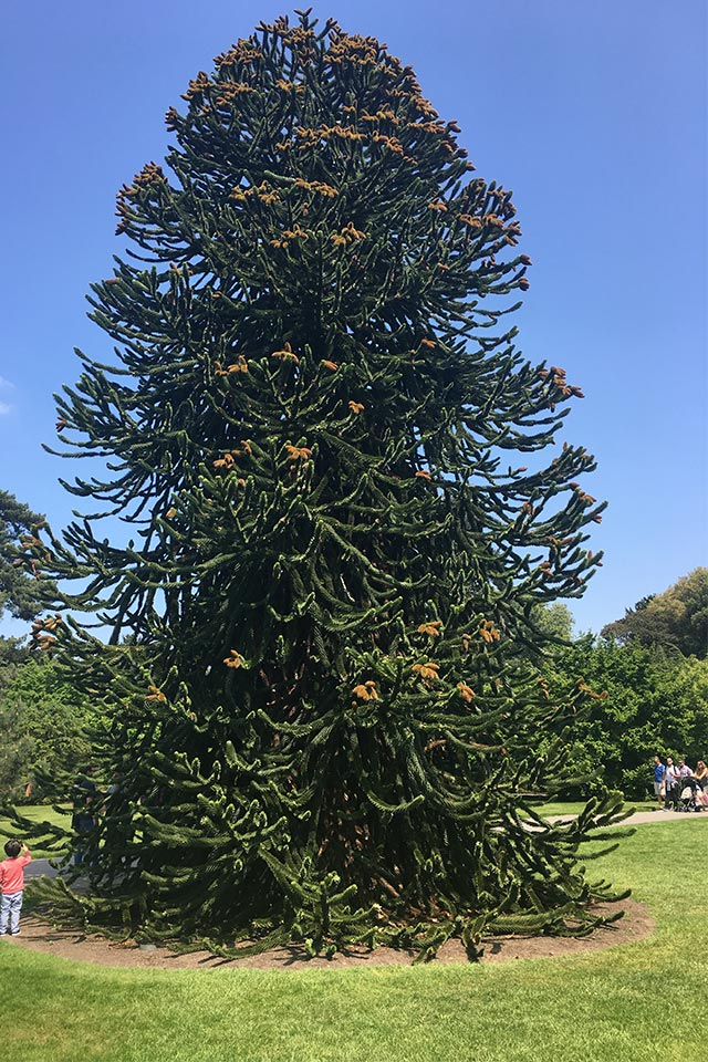 Monkey Puzzle tree - Cile