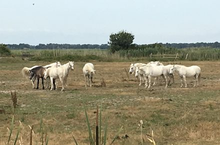 cavalli bianchi in Camargue