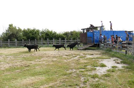 tori della Camargue