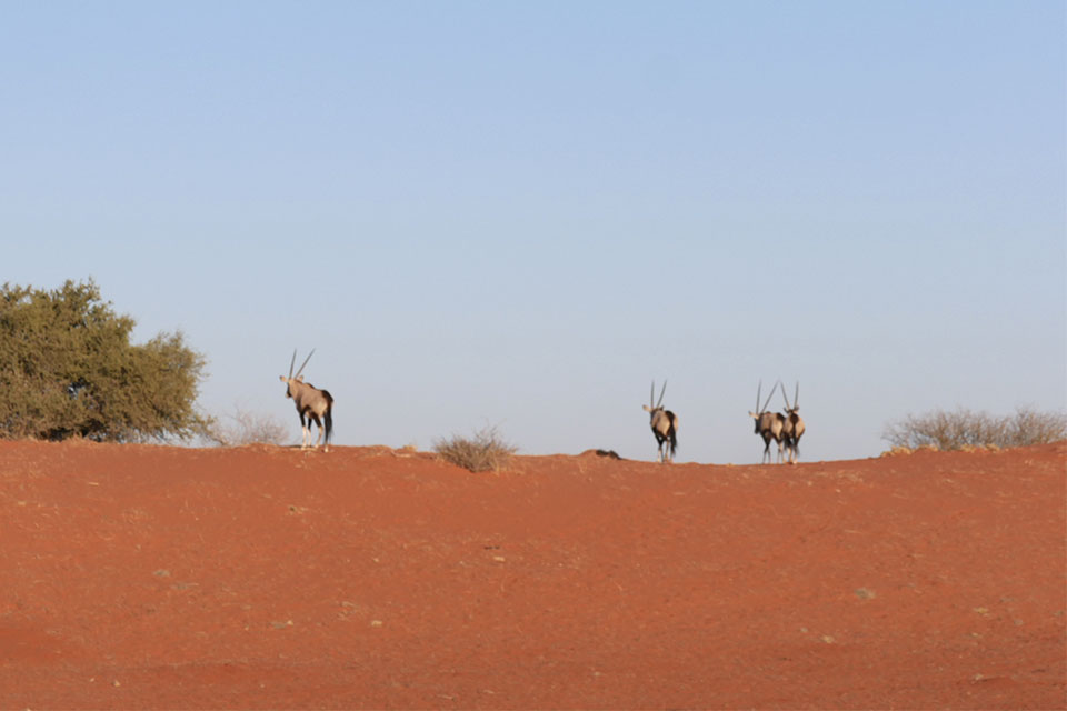 il simbolo della Namibia- gli eleganti Orici